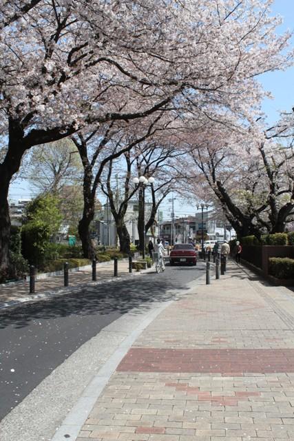 南林間の桜並木