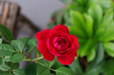 s-ミニ薔薇