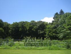 夏のトウモロコシ畑