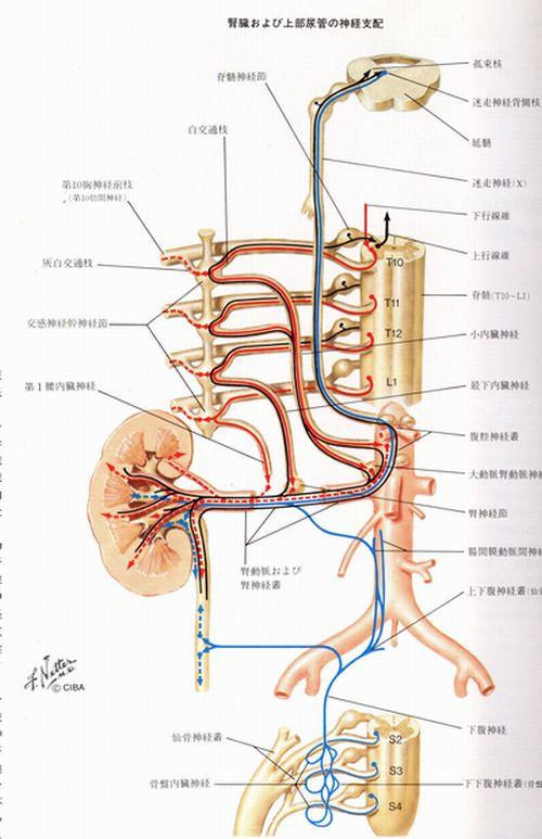 腎臓の支配神経