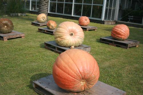 かぼちゃまつり1