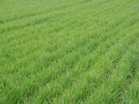 110409麦畑 (3)40