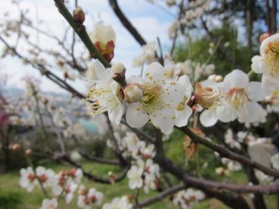 岡本梅林公園 (4)