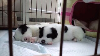 子犬寝顔メリチャン