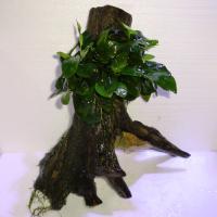 国産アヌビアス上物流木2