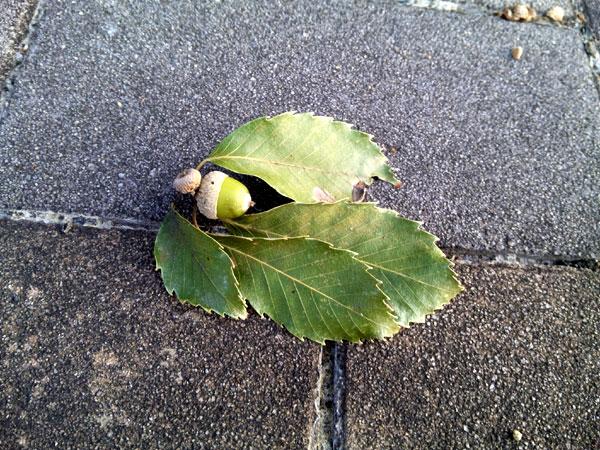 秋の兆しのどんぐり