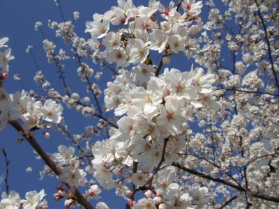 """春はもうそこまで!  """"桜"""""""