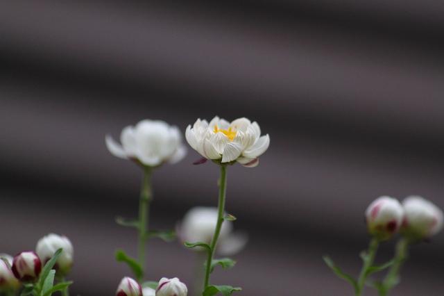 春らしい花簪