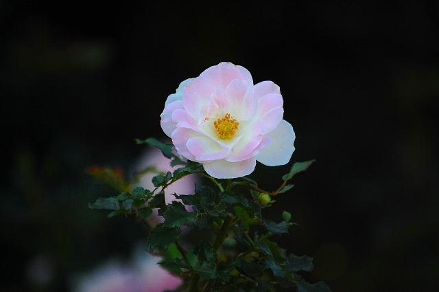 ほんのりピンクを帯びた花びらがきれい!