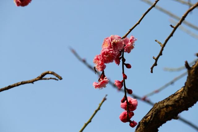 ピンクの梅はかわいらしいですね