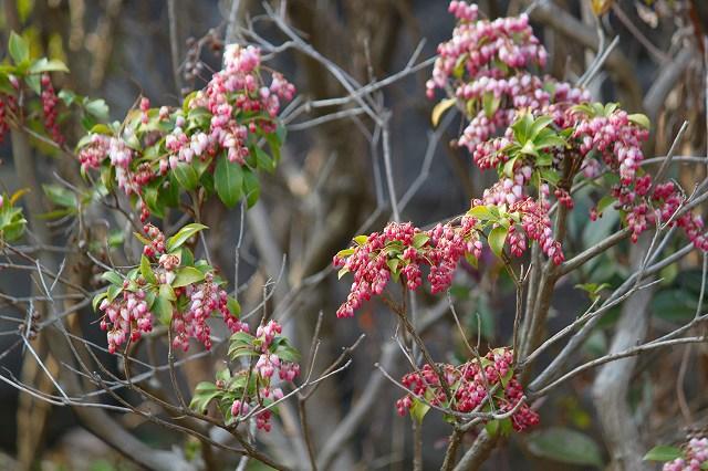 色の美しいアケボノアセビ