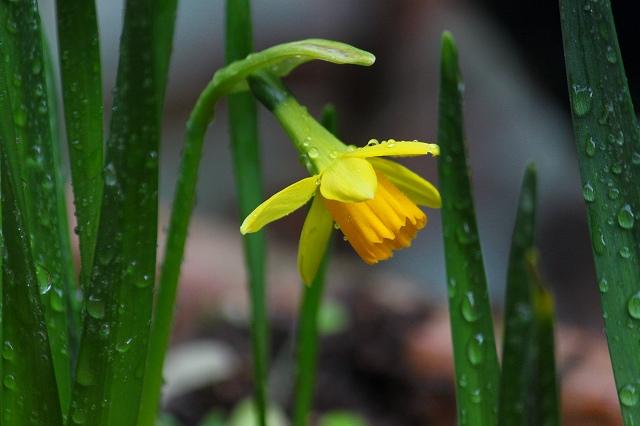 ミニ水仙の黄色がかわいい♪