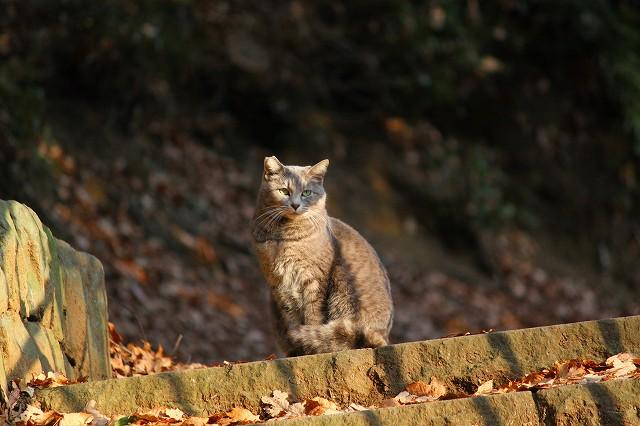 よく出会う、綺麗な猫ちゃん、耳の形わかります?