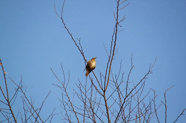 木の天辺のツグミさん、気持良さそう♪