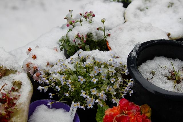お花たちが、寒そうです・・・