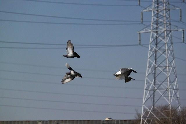 ハトさんの飛翔も、格好いいね♪
