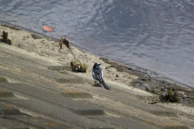 ハクセキレイは、一番身近な野鳥!