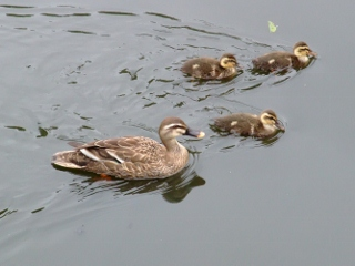 カルガモの親子 2011