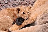 親子ライオン