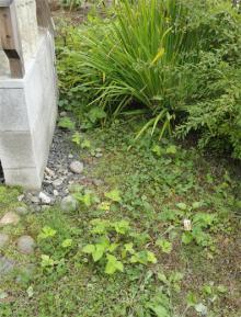 庭にも三ツ葉が侵攻