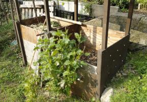 堆肥箱の前の大葉