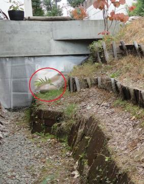 ミョウガ第2弾の苗を植えた斜面