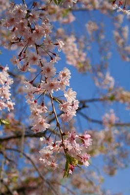 しだれ桜がキレイだった。