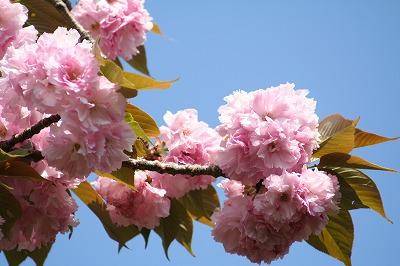 八重桜 満開!!