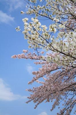 今年の桜は可哀相かも・・・