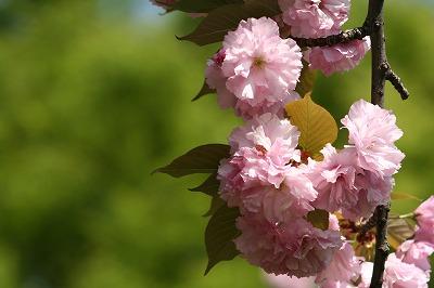 八重桜 満開!!!!