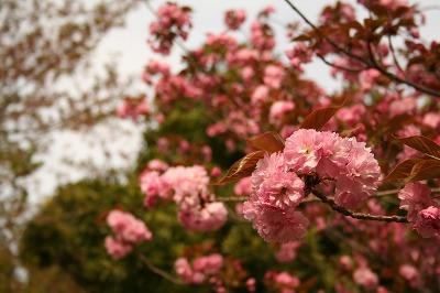 八重桜も満開~★
