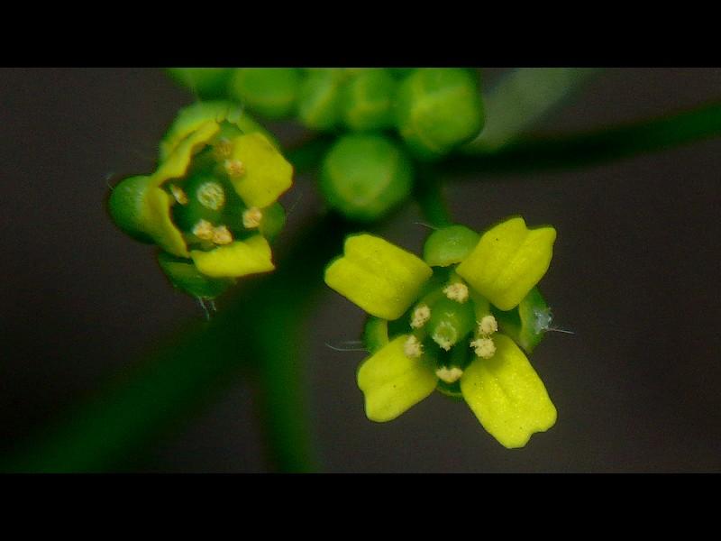 イヌナズナ 花の拡大