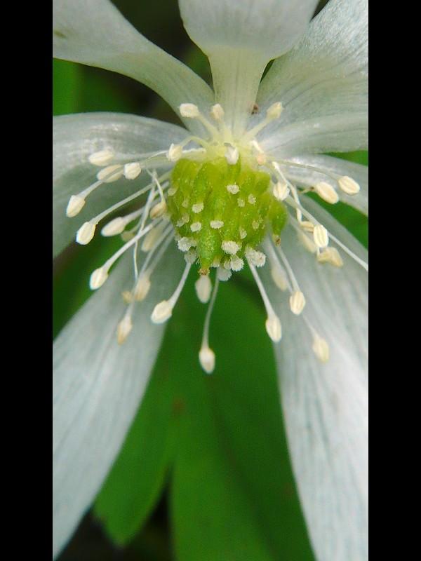 キクザキイチゲ (白) 花の中央部・シベの拡大