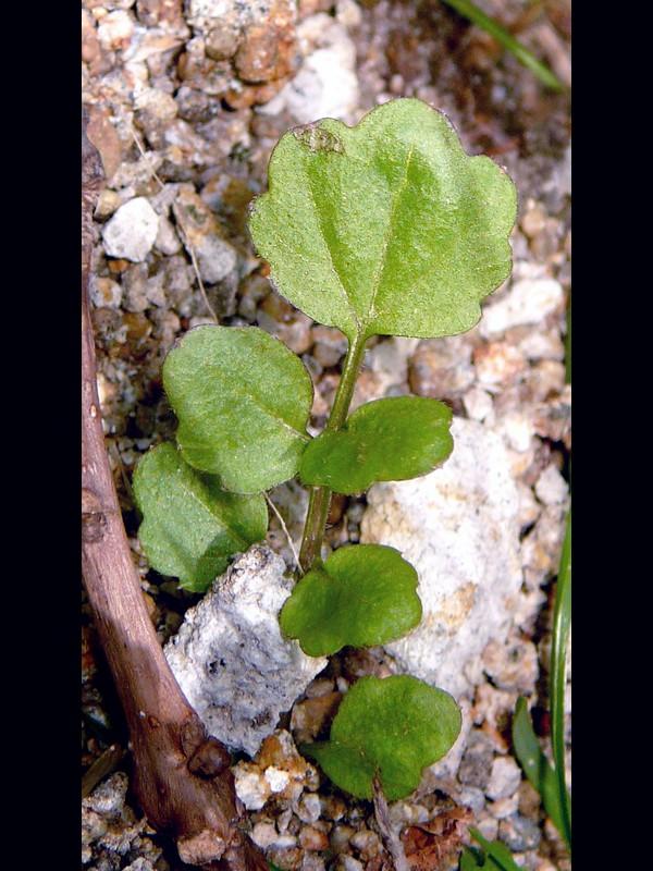 オオケタネツケバナ 根生葉