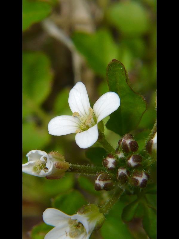 オオケタネツケバナ 花