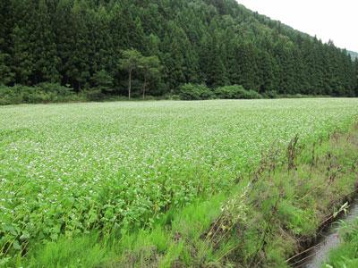 1109蕎麦の花