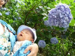 紫陽花とタローちゃん