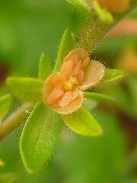 タチイヌノフグリ 果実・種子