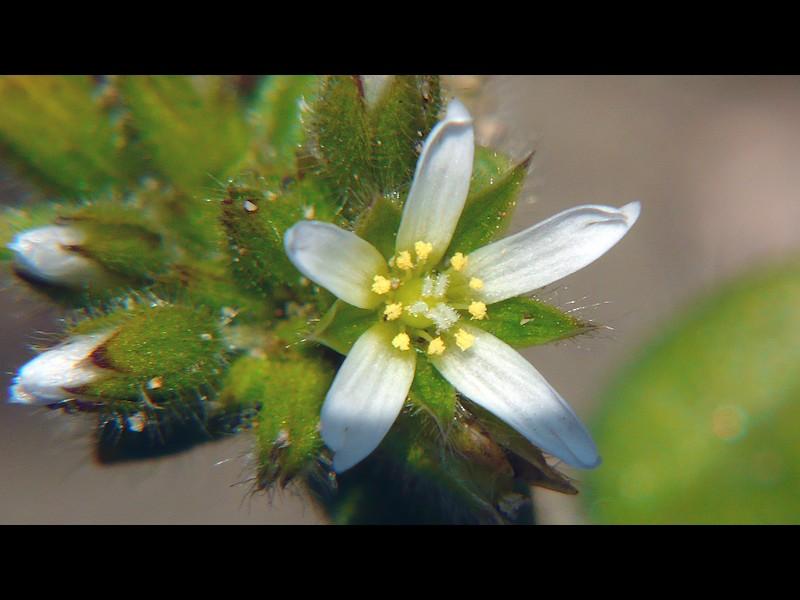 オランダミミナグサ 花