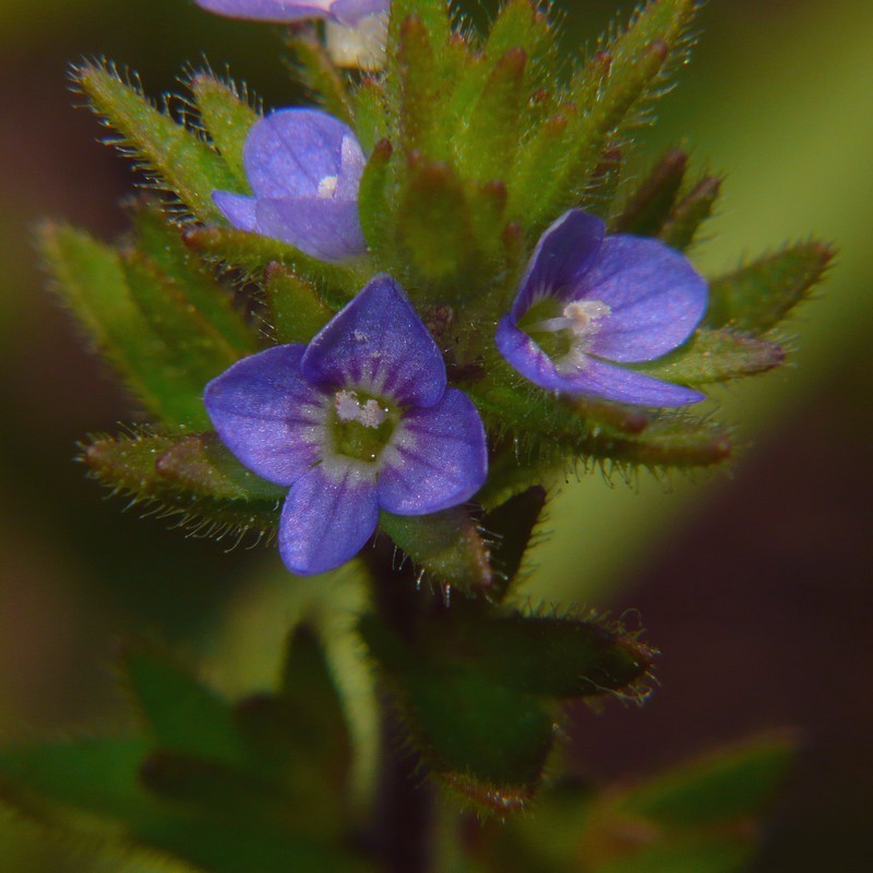 タチイヌノフグリ 花