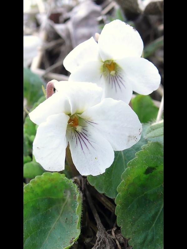 マルバスミレ 花