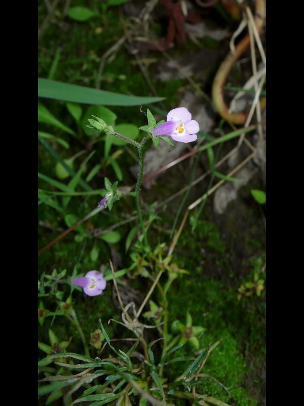 トキワハゼ 草地でよく立った花序の個体