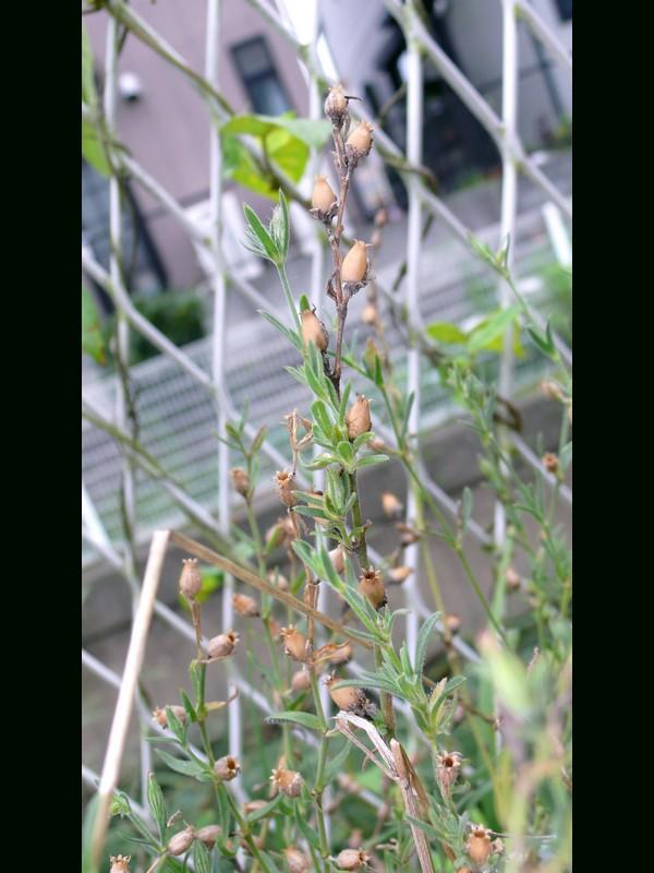 シロバナマンテマ 蒴果が乾いた時期の全景
