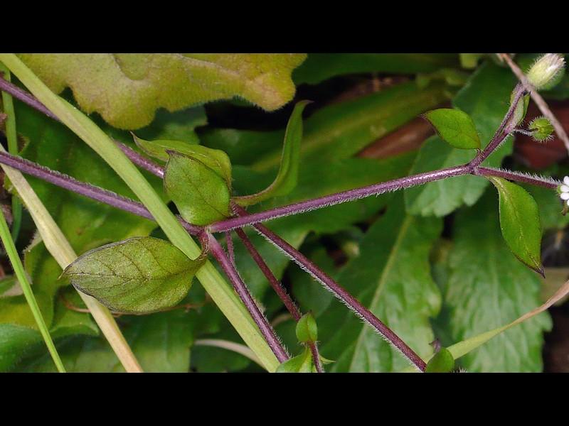 コハコベ 茎と葉