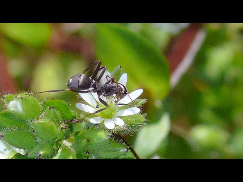 コハコベ 花と蟻