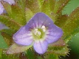タチイヌノフグリ 藤色の花