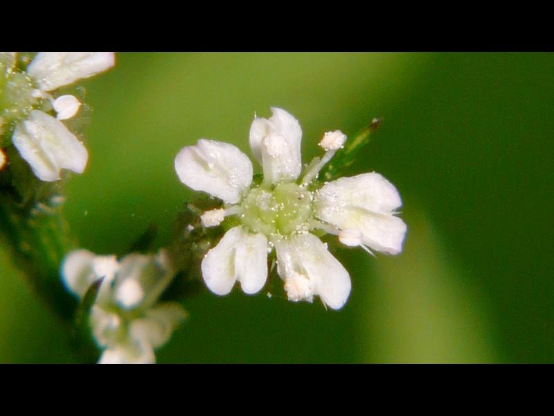 オヤブジラミ 白花