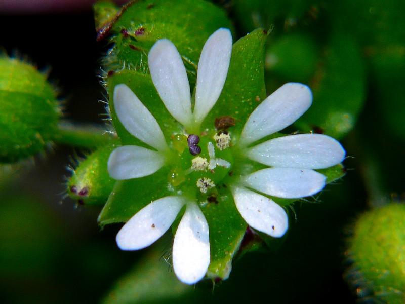 コハコベ 花の拡大