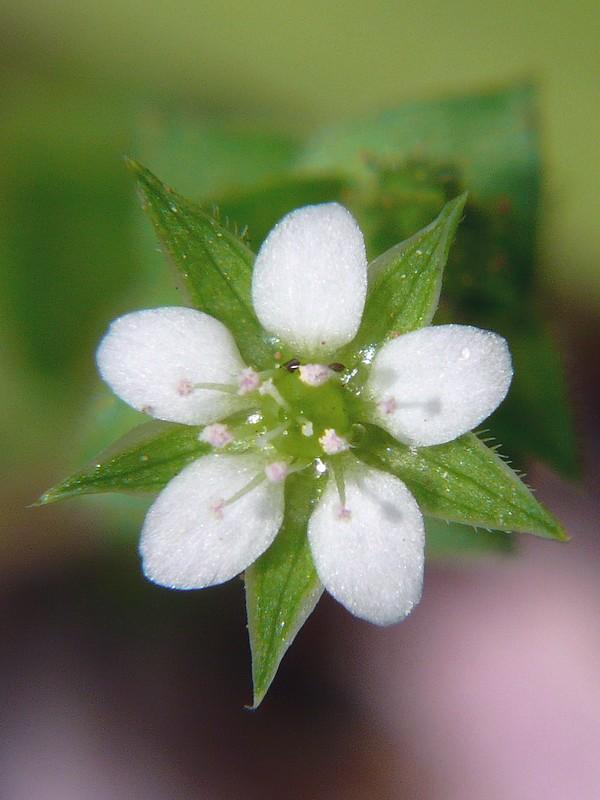 ノミノツヅリ 花の拡大