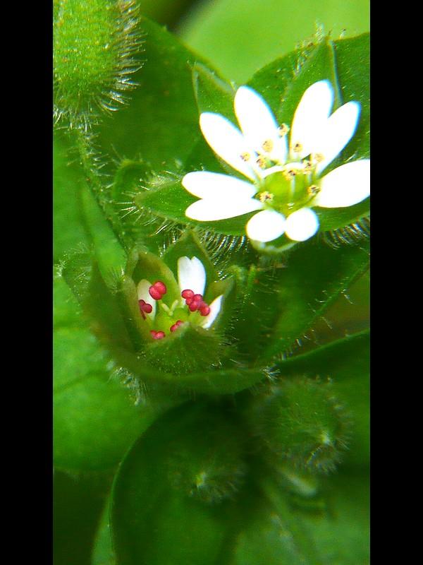 ミドリハコベ 花